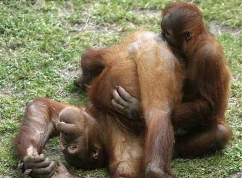 Но больше всего мифов рассказывается из уст в уста о сексе среди обезьян... Наверное, потому что легче всего человеку узнать себя именно в них...